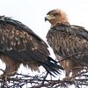 Fish eagles.