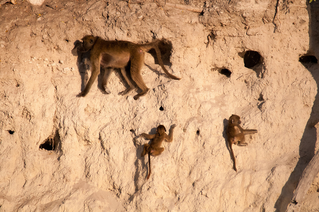 The baboons climb amongst the Bee Eater nests.