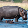 On the Chobe River, the hippos were the most dangerous. They didn't want to be bothered.