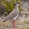 Crowned plover.