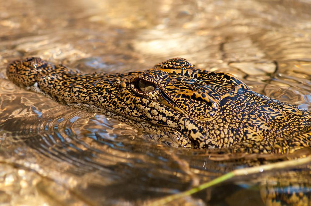 A young croc.