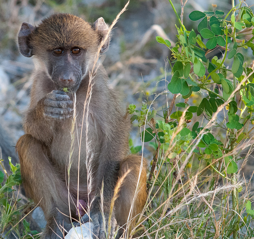On two occassions baboons came down to the river to drink.