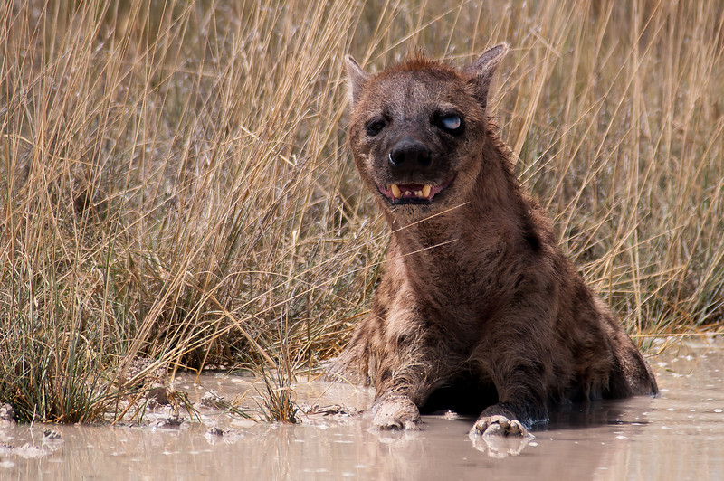 This hyena and mate were lounging in a mud hole at the side of a road. He was blind in one eye. Guess which one.