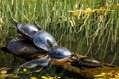 The Turtles Four