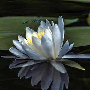 Lily & Dragonfly