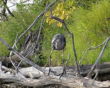 Big Bird...Little Cormorant