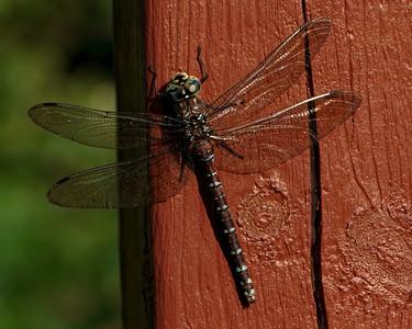 Hello Mr. Dragonfly!