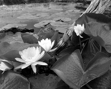 Lilies & Log