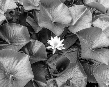 Lily Little Cormorant Lake I