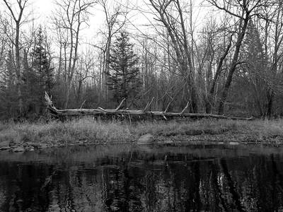 Fallen Tree along the Cloquet River