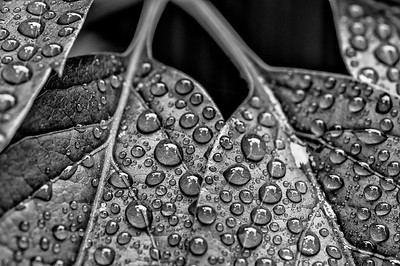 Water Droplets Black & White