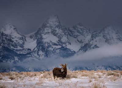 Young Moose, Grand Teton National Park, Wyoming