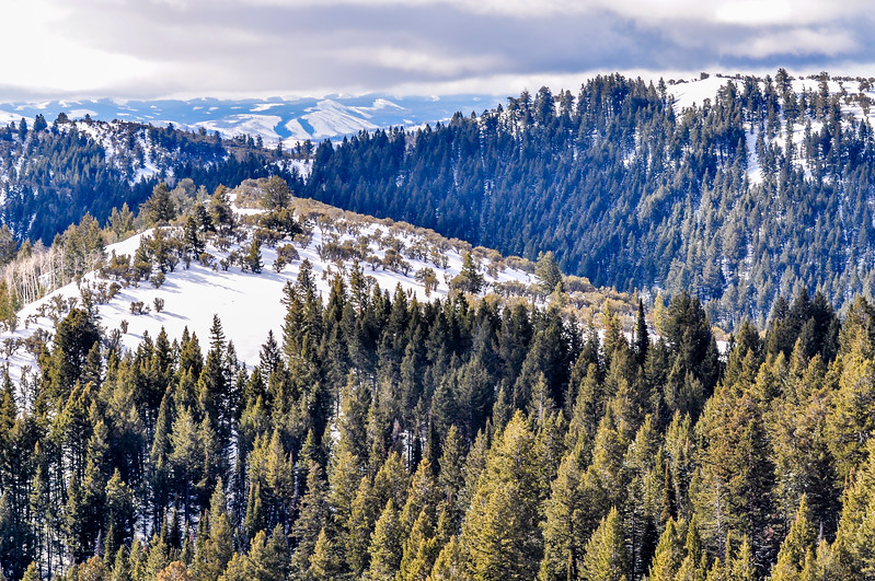 Pine Forested Mountains