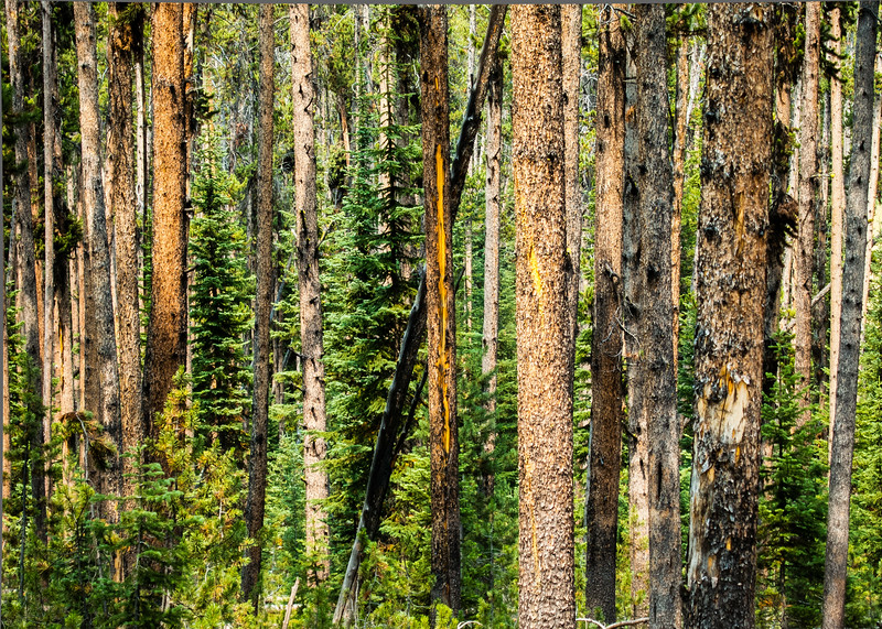 Lodge Pole Pines, Sevenmile Hole Trail, Yellowstone National Park