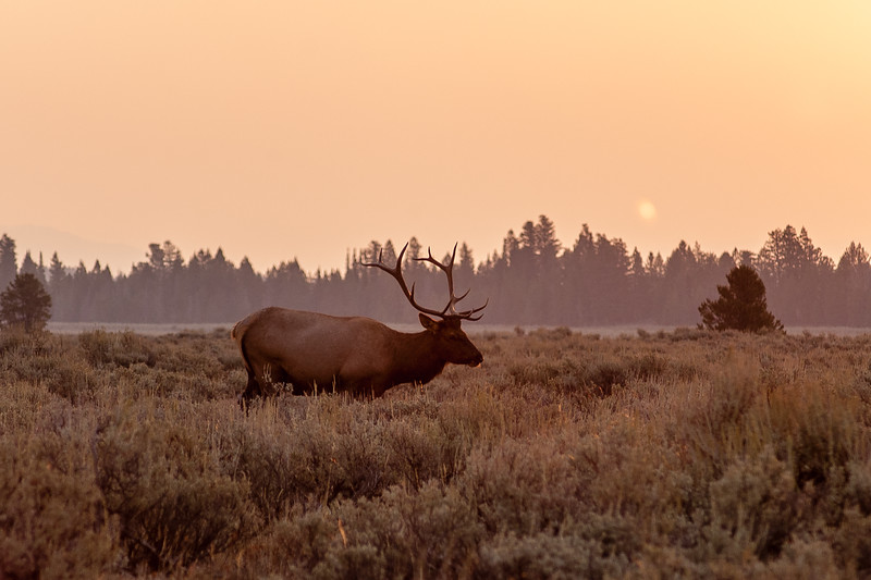 Sunrise and Elk, Grand Teton National Park