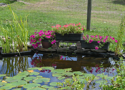 Color in the Yard - August 8, 2020 As an engineer I tried several times to finish the edging around our water garden pond and it always looking very boring.  Our daughter-in-law offered to help and creatively arranged the rocks and flower pots around our water garden ponder.  Thank you Beth!!!  We really like this arrangement in particular, so I moved it to a location that we could see directly across from our porch.
