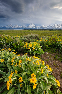 """Balsamroot Salute"" - Grand Teton National Park, WY"