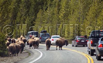 Bison Blocking Traffic