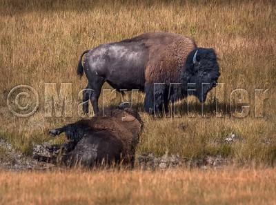 Bison Guarding Fallen Mate