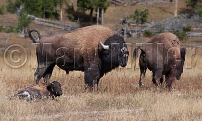 Bison Checking Esterus