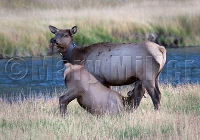 Elk Calf Nursing
