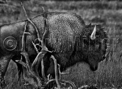 Bison Scratching