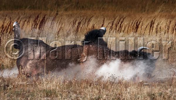 Bison Dust Bath