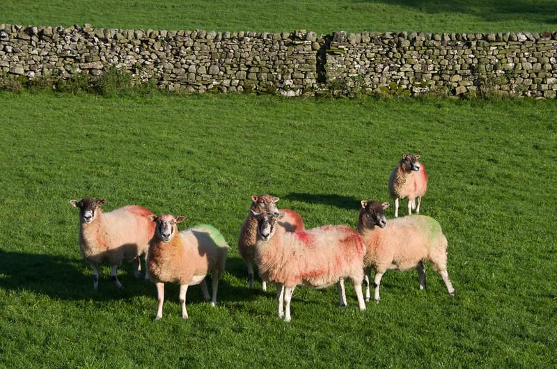 Sheep near Askrigg, Wensleydale