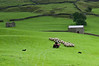 Rounding up sheep at Keld, Swaledale
