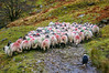 Sheep herd in Swalecale