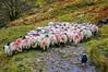 Sheep herd in Swalecale