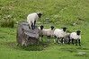 Lambs in the Howgill hills