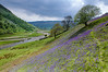 Bluebells in Upper Swaledale