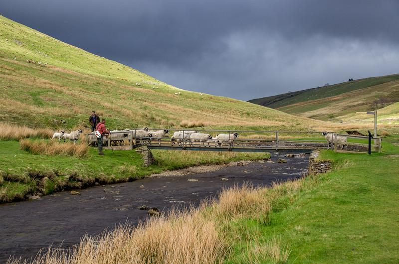 Sheep crossing bridge, Barbondale