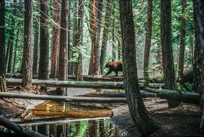 A Bear in the Woods.