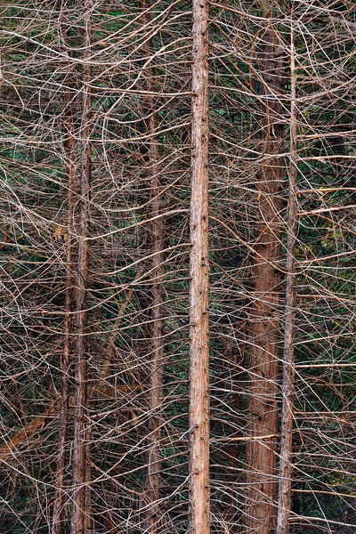 Pine Web