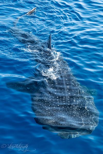 Whale shark V - Isla Mujeres, Mexico 2019