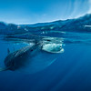 Whale shark split II - Isla Mujeres, Mexico 2019