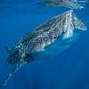 Whale shark VIII - Isla Mujeres, Mexico 2019
