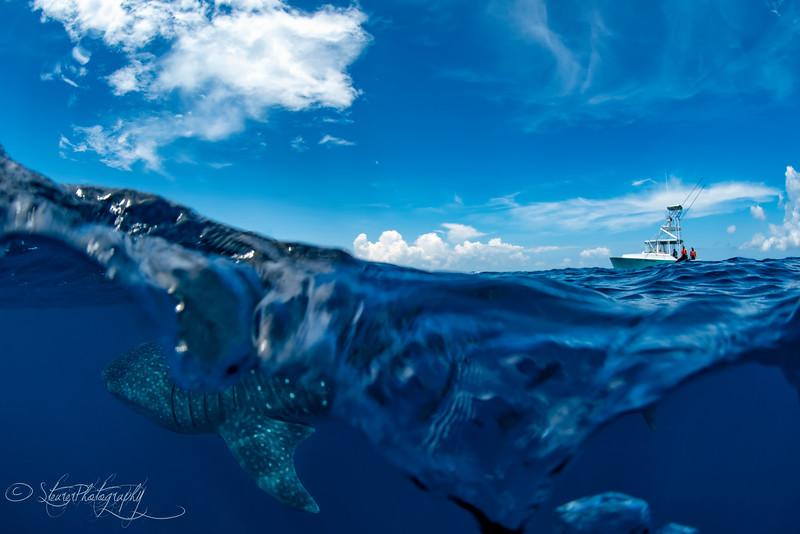 Whale shark split I - Isla Mujeres, Mexico 2019