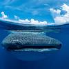 Whale shark split III - Isla Mujeres, Mexico 2019