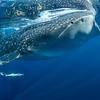 Whale shark III - Isla Mujeres, Mexico 2019