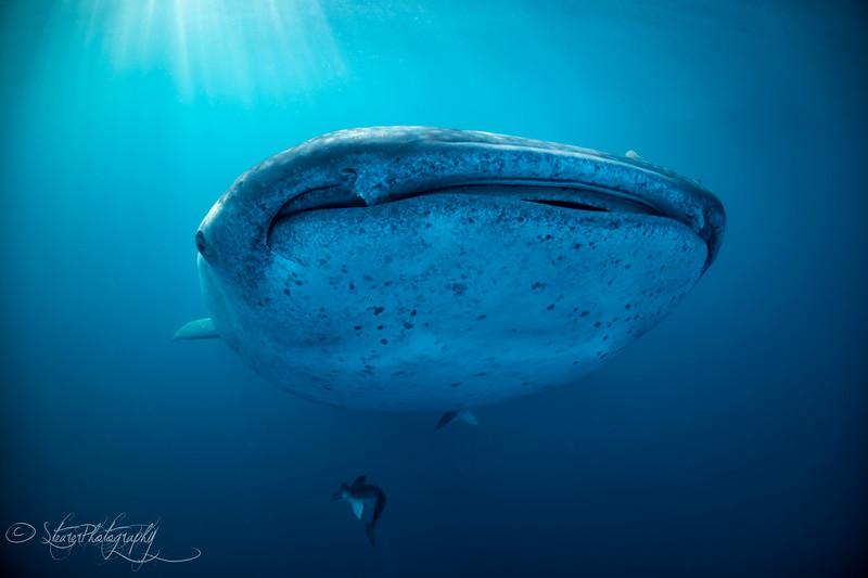 Whale shark IV - Isla Mujeres, Mexico 2019