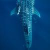 Whale shark I - Isla Mujeres, Mexico 2019