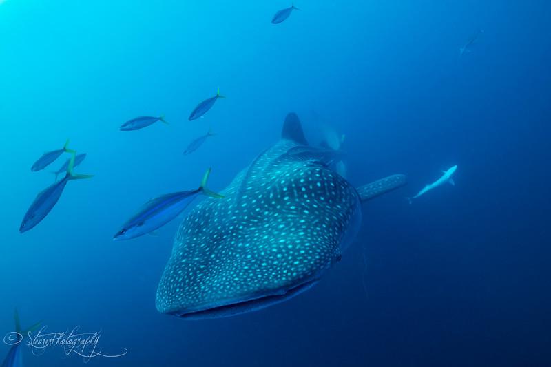 Whale shark VI - Isla Mujeres, Mexico 2019