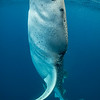 Whale shark bottle feeding II - Isla Mujeres, Mexico 2019