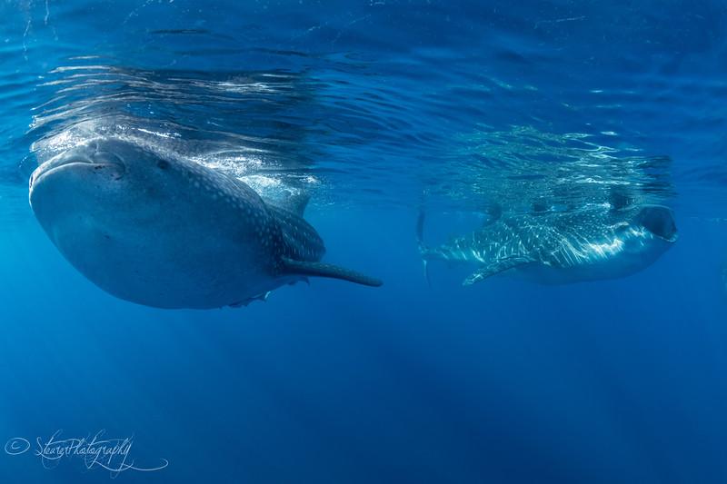 Whale shark II - Isla Mujeres, Mexico 2019