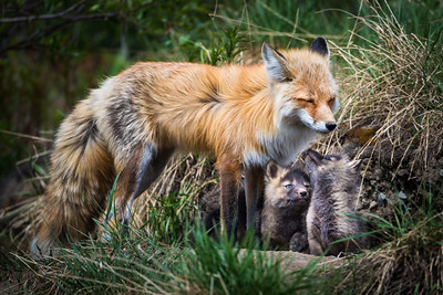 A mother red fox tends to her kits