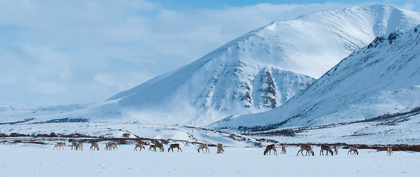 Forty Mile Caribou Herd wintering near Dempster Highway