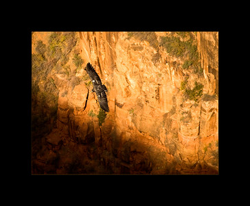 Condor and Canyon, Zion National Park ,UT
